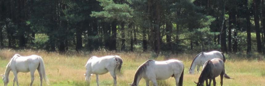 Die Pferde in der Moorheide begeisterten die 50 Exkursionsteilnehmer.