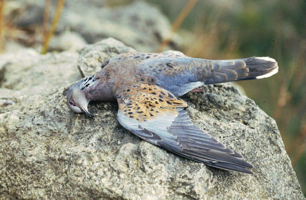 birdlife-malta-turteltaube-geschossen